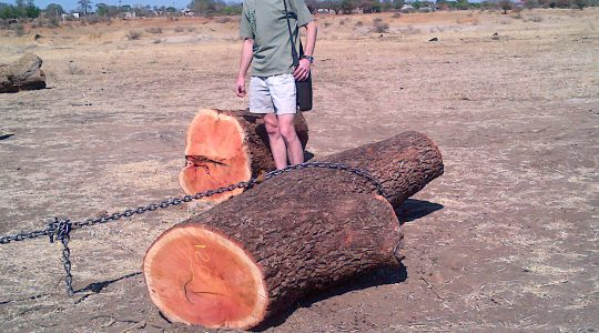 140930 large logs of pink ivory in the Veld