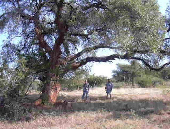 Wild Olive under foliage