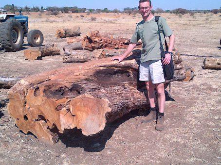 Wild olive typical large log