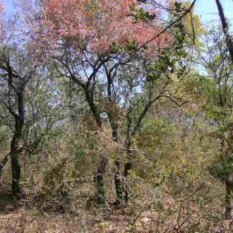 Sandalwood - Tamboti Foilage at fall time