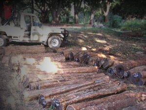 harvesting African blackwood